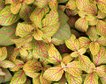 Coleus plant foliage Stock Photo