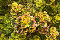 Coleus plant texture of colorful green pink and yellow Stock Photo