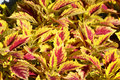 Coleus plant a vibrantly colored in the sulight Stock Images