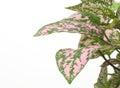 Coleus som har rosa färger nyanserad lövverk Arkivbild