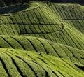 Colheita dos tea-leaves Imagem de Stock Royalty Free