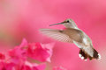 Colibri en vol Photo stock