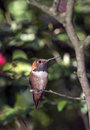 Colibri Rufous (rufus de Selasphorus) Photo stock