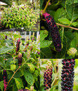 Collage of american pokeweed plant in different a phytolaca americana stages blossom fructification Royalty Free Stock Image