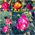 Collage of beautiful roses in rosegarden Royalty Free Stock Photo