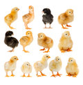 Collage of beautiful yellow and black chicks Royalty Free Stock Photo