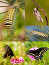 Collage of black swallowtail metamorphosis from caterpillar to chrysalis and on to butterfly Stock Image