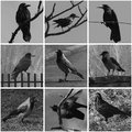 Collage with black and white photos of ravens Stock Photography