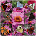 Collage butterflies sitting chrysanthemum Royalty Free Stock Photos