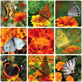 Collage butterflies sitting marigold flower Stock Images