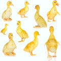 Collage of cute baby ducklings on white yellow Royalty Free Stock Images