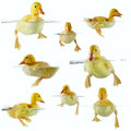 Collage of cute ducklings floating in water or swimming Royalty Free Stock Photos