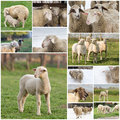 Collage de moutons Photo libre de droits