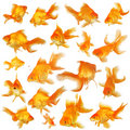 Collage of fantail goldfish Royalty Free Stock Photo