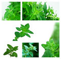 Collage of Fresh Oregano Royalty Free Stock Images