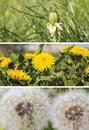 A collage of images of dandelions.