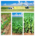 Collage of maize on the field Royalty Free Stock Photography
