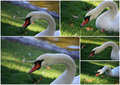 Collage of Mute swan Stock Photography