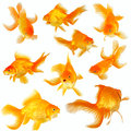 Collage of nine fantail goldfish on white beautiful Stock Photos