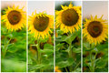 Collage of organic fresh sunflowers in a field close-up. Beautiful floral summer background on different topics Royalty Free Stock Photo