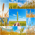 Collage pictures wheat ears summertime Stock Photo