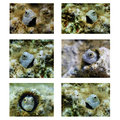 Collage of small coral fish red sea from the family blennidae eilat Stock Image