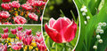 Collage of tulips and lily in the valley, spring flowers Royalty Free Stock Photos