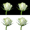 Collage of a white rose isolated on and black with and without dew Stock Images