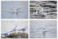 Collage of white seagulls four photos Stock Images