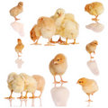 Collage of yellow chicks Royalty Free Stock Photo