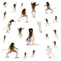Collage of Young Crowned Sifaka Stock Photos
