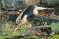Collared anteater Royalty Free Stock Photo