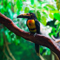 Collared aracari agarrado pteroglossus torquatus toucan bird Stock Photo