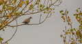 Collared dove in autumnal ambient a streptopelia decaocto perches on a tree with it s leaves showing all the different colors Stock Images