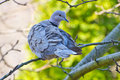 Collared dove on branch eurasian streptopelia decaocto resting tree in morning spring forest Stock Image
