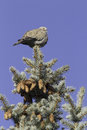 Collared dove on a fir branch streptopelia decaocto against the blue sky Royalty Free Stock Photography