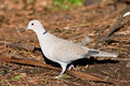 Collared Dove on Pine Needles Stock Photo