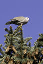 Collared dove resting streptopelia decaocto on a fir branch Royalty Free Stock Photography