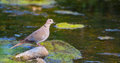 Collared dove at the river a streptopelia decaocto keeps a attentive eye before beginning to drink a sitting on a moss covered Stock Photos