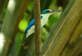 Collared kingfisher beautiful sitting on bamboo branch Stock Image