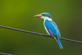 Collared kingfisher portrait of todiramphus chloris Stock Photography