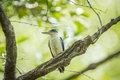 Collared kingfisher todiramphus chloris at bangpoo thailand Royalty Free Stock Photo
