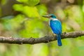 Collared kingfisher todiramphus chloris in the forest Stock Photo