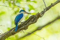 Collared kingfisher todiramphus chloris in the forest thailand Stock Photography