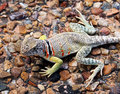 Collared Lizard Stock Photography