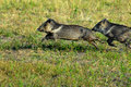 Collared peccaries leaping Royalty Free Stock Photography