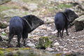 Collared peccary the couple of peccaries Stock Photos