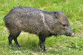 Collared Peccary on grass Stock Image