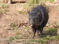 Collared peccary on mud front view stand the closeup Stock Images