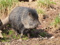 Collared peccary on mud stand the closeup view Stock Photography